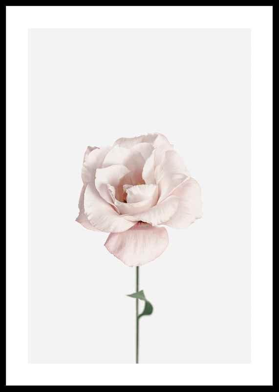 Pink Rose No1