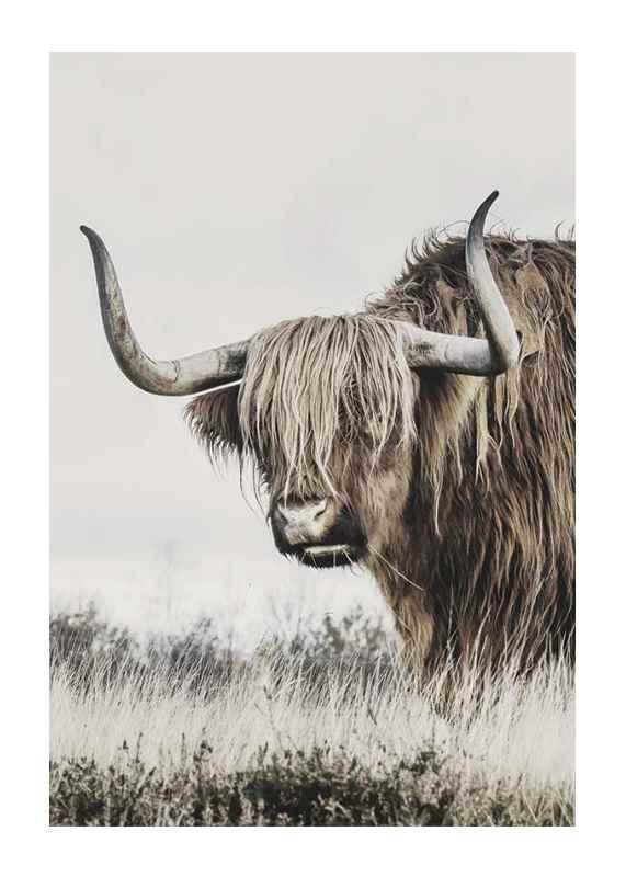 Highland Cattle-1