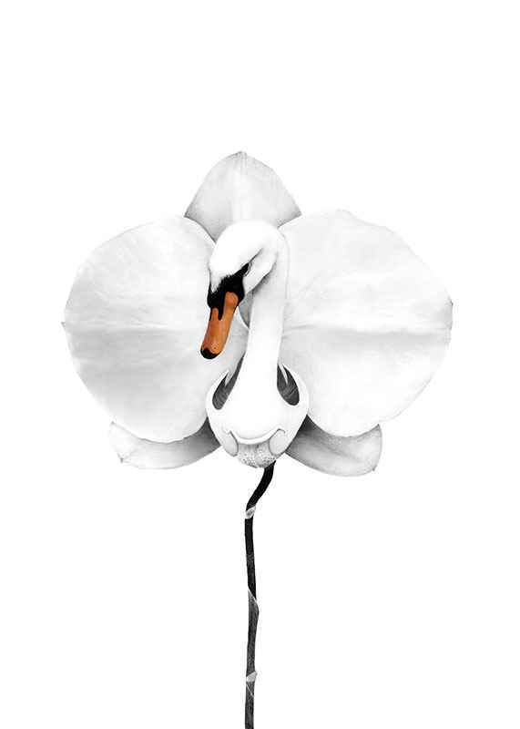 Swan orchid-1