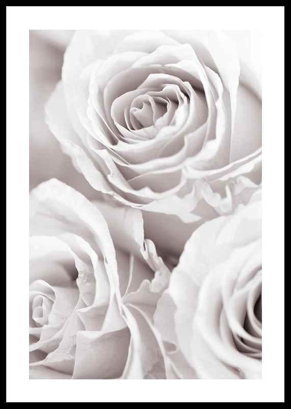 Bright Pink Roses No1