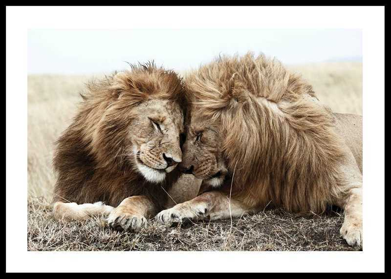 Lion Bothers